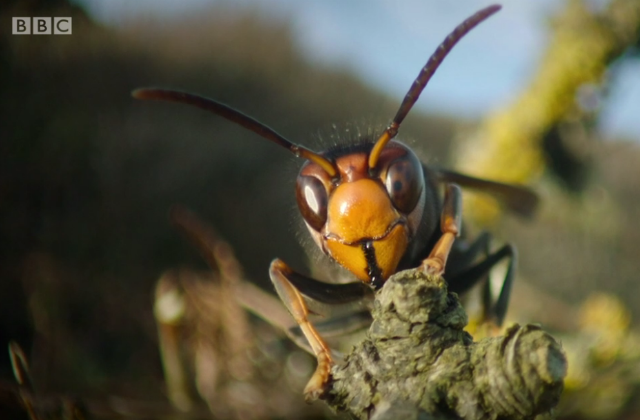 Close-up of an Asian hornet's face