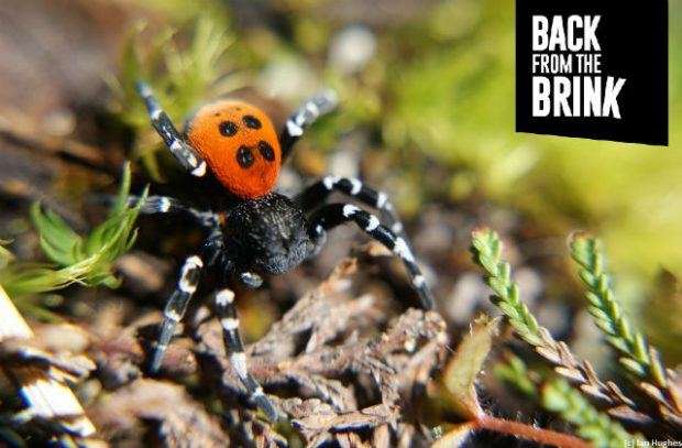 A photo of a Ladybird Spider