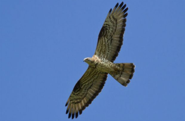 Image of a buzzard flying