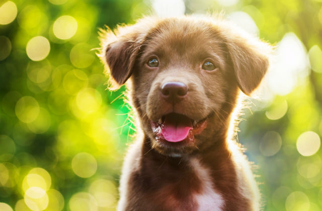 Portrait of brown cute Labrador retriever puppy with sunset bokeh abstract background