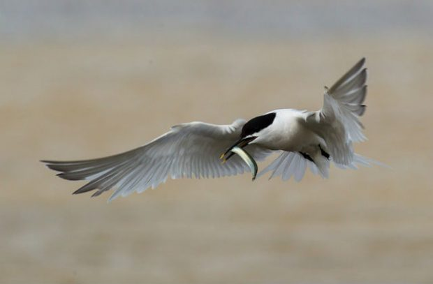 An image of a Sandwich tern eating a fish in mid-flight