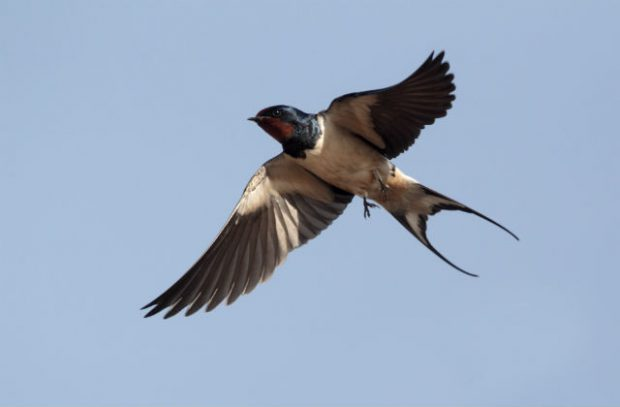 An image of a swallow in mid flight