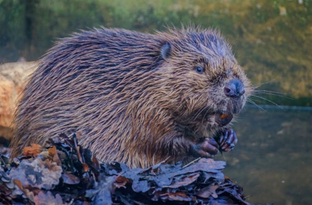 An image of a beaver in the wild