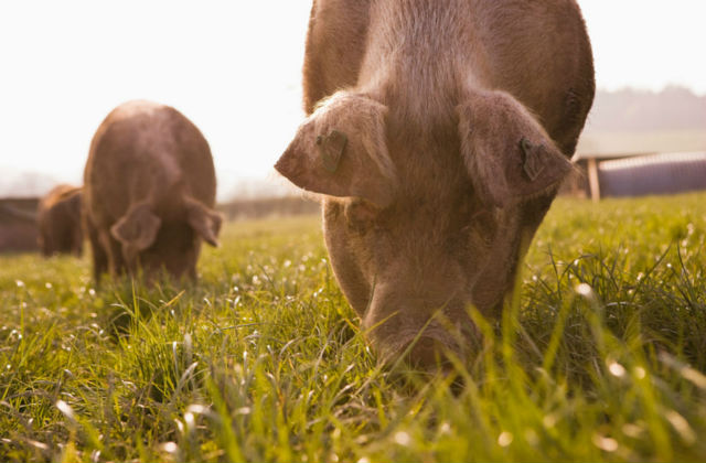 An image of two pigs grazing in a field