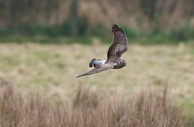 Hen harrier flying over landscape.