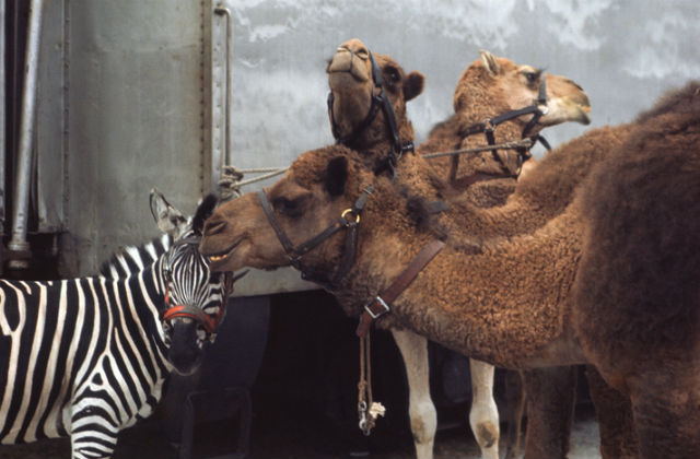 An image of zebras and camels