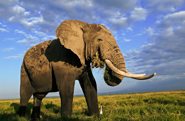 Image of an elephant standing against a blue sky backdrop.
