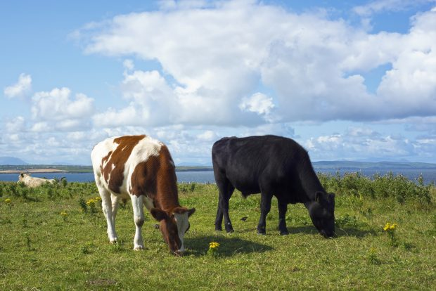 two cows grazing on green grass by the sea