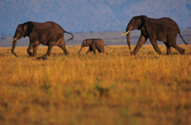 Photo of elephants running across African grasslands