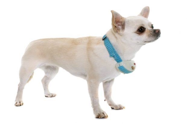 A dog with an e-collar attached