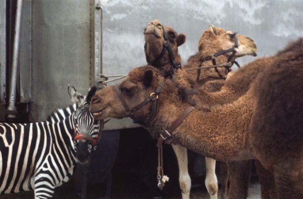 Camels and a zebra
