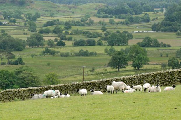 An image of green fields with sheep grazing in them.