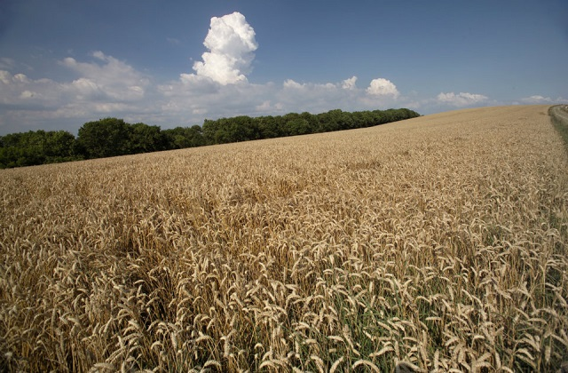 A wheat crop in the foreground, woodland on the horizon and a blue sky