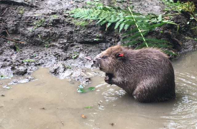 The male beaver released in the Forest of Dean