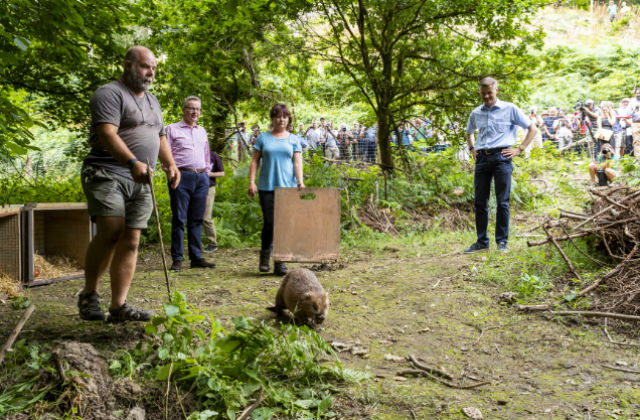 Beaver release in Forest of Dean