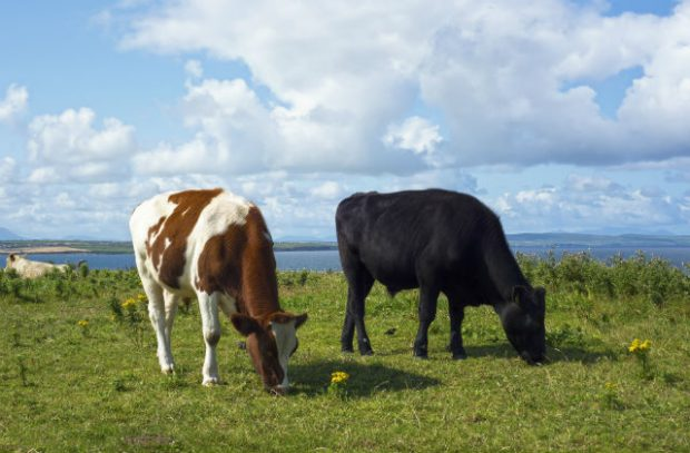 Photograph of two cows grazing in a field.