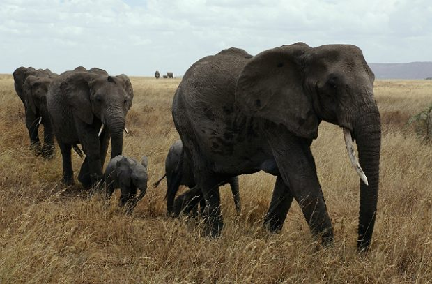 A herd of elephants in the Serengeti National Park