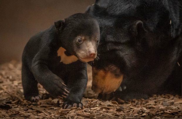 An image of the UK's first sun bear cub emerges from its den with its mother