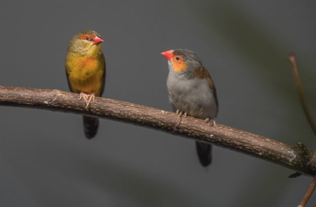 An image of  -breasted waxbill and orange-cheeked waxbills sitting on a branch against a grey background.