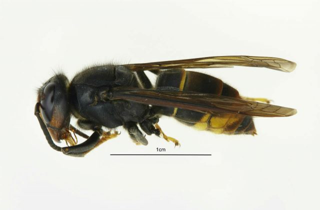 A close up image of an Asian Hornet. There is a ruler measuring the middle part of the Hornet's body as 1cm.
