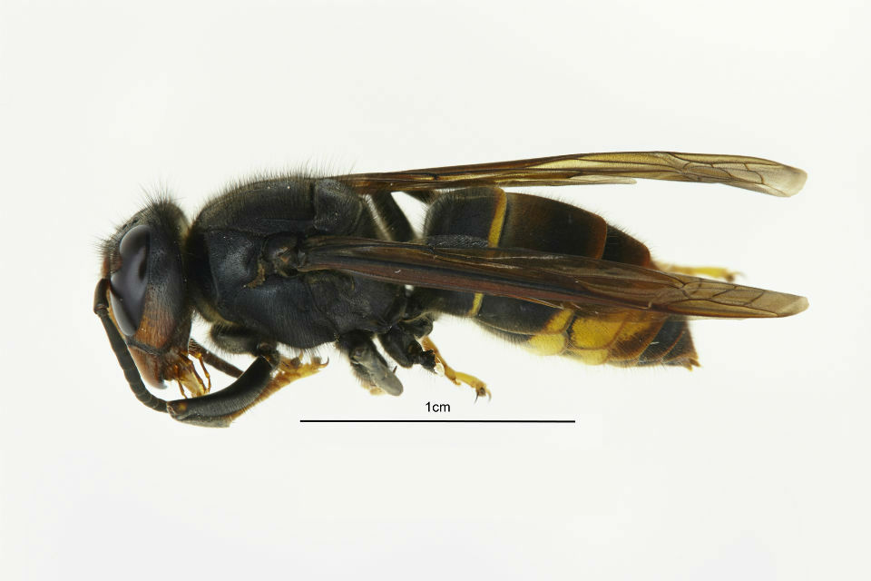 An image of an Asian Hornet. The middle section of the Hornet measures 1cm.