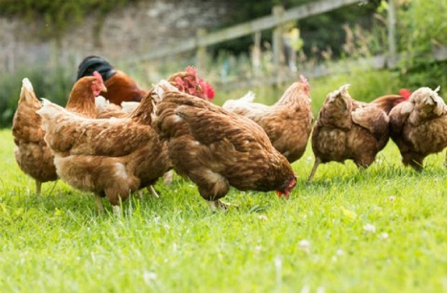 Several brown hens pecking on the green grass in a field.