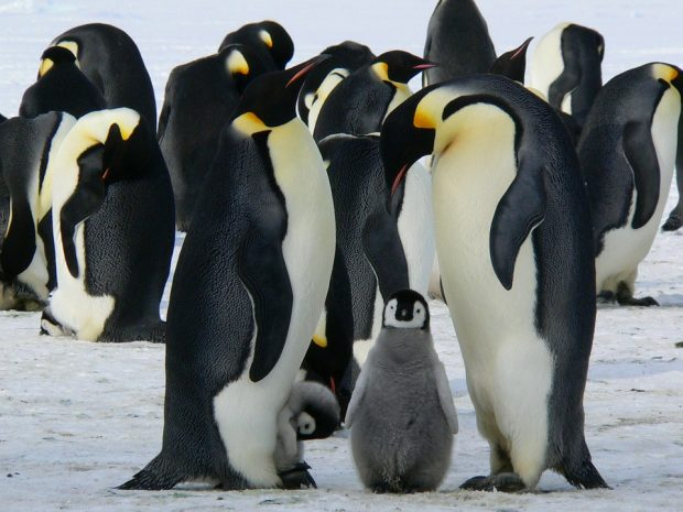 Penguins standing against an arctic backdrop.