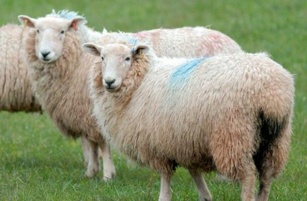 Two sheep standing in a field with blue marks on their wool.