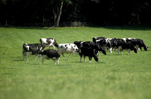 An image of several black and white cows standing in a green field, grazing.