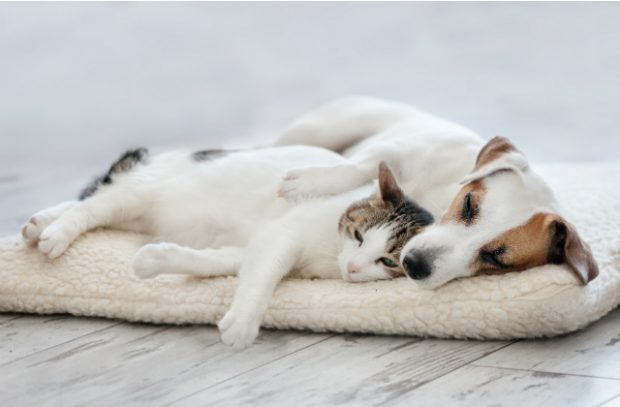 A Jack Russell dog lying on a pet bed with a cat leaning down against it.