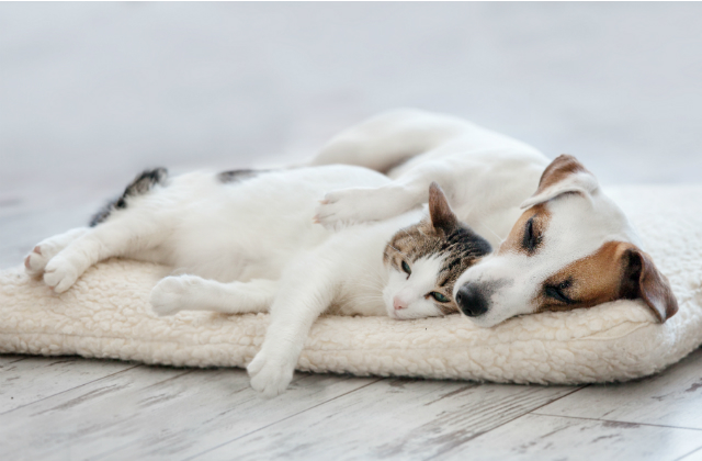 An image of a Jack Russell dog lying on a pet bed with a cat leaning down against it.