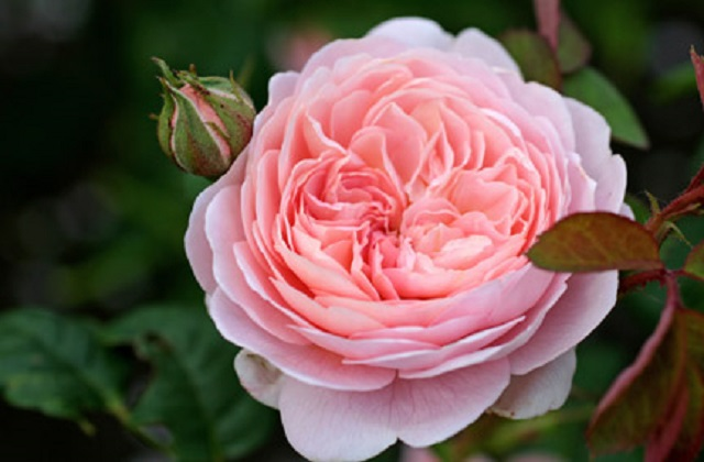 An image of a pink Queen of Sweden Rose