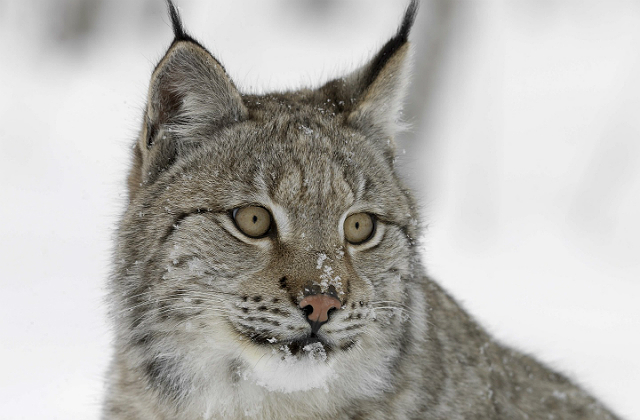 Image of a Eurasian lynx against a snow backdrop.