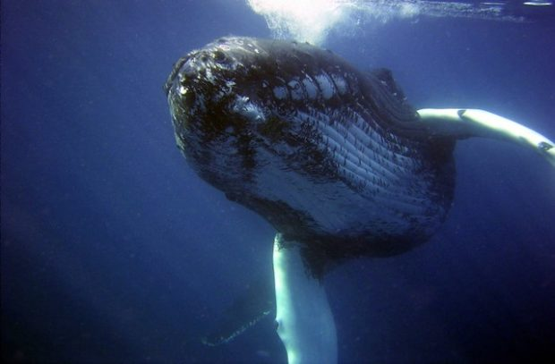Image of a whale expelling air underwater.