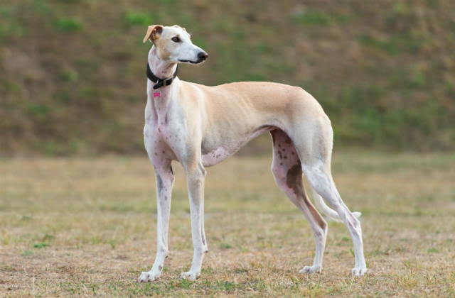 A posed greyhound in a green field