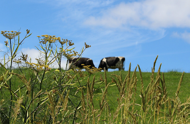 An image of cows in a field.