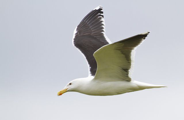 Image of white bird flying in the sky.