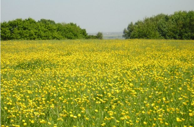 A meadow of buttercups at Langdon Ridge near Basildon
