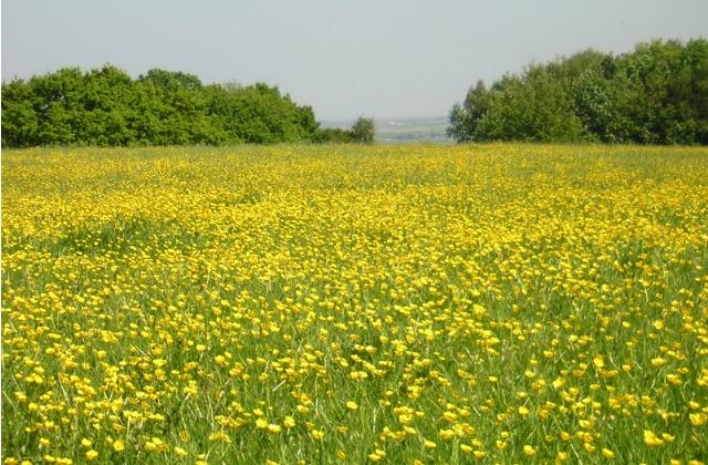 An image of meadow of buttercups at Langdon Ridge near Basildon.