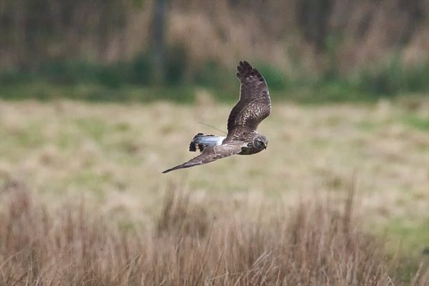 Image of a hen harrier flying over a field of grass.