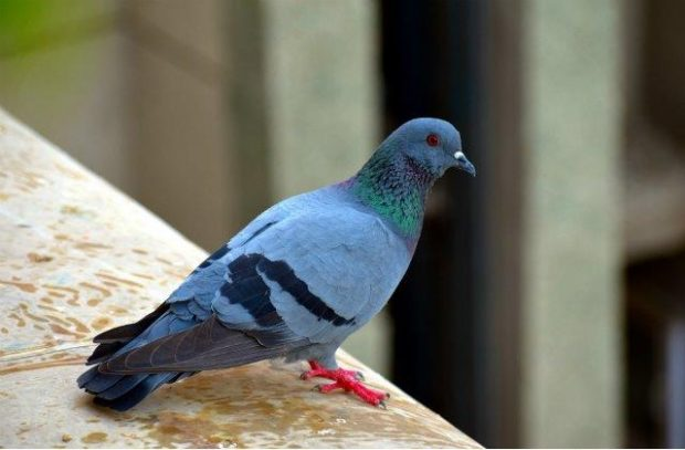 Image of a pigeon