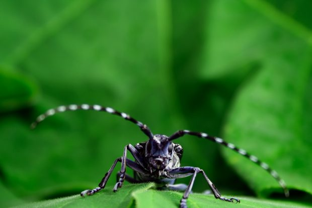 Asian Longhorn Beetle on a leaf facing the camera.