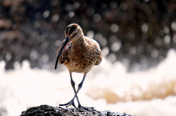 A brown curlew