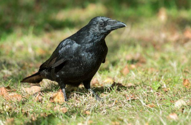 a carrion crow
