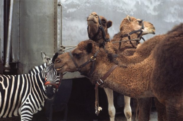 An image of three camels and a zebra