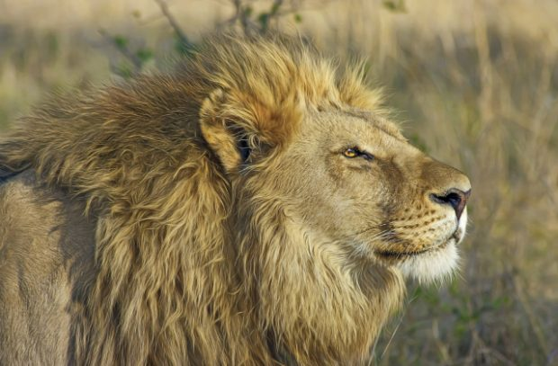 A male lion in the wilderness