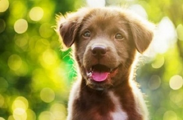 Brown puppy looks at camera