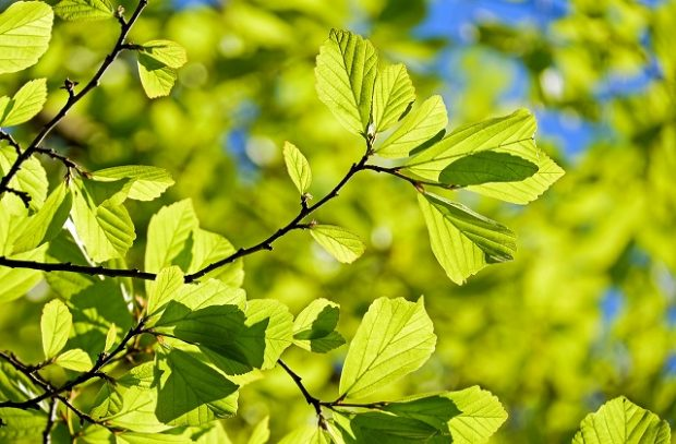 Green leaves on a branch on a sunny day