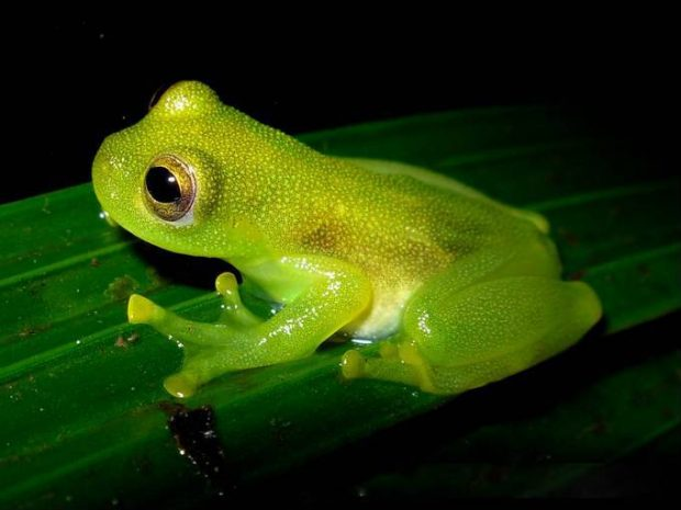 Picture showing a green glass frog sitting on a leaf