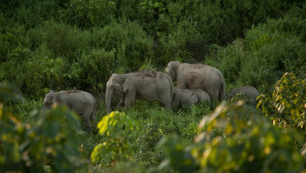 image of six Asian elephants walking in green grass